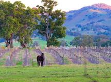 Queens Pinch Vineyard, Mudgee, NSW